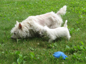 NJ Westhighland White Terrier
